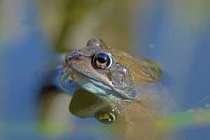 common-frog-2197946_1920