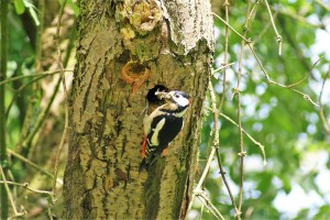 great-spotted-woodpecker-205589_1920