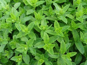 moroccan-mint-2396530_1920