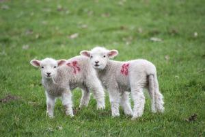 lamb-2588067_1920