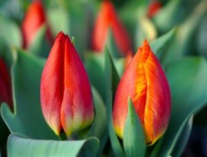 tulips-4909348_1920